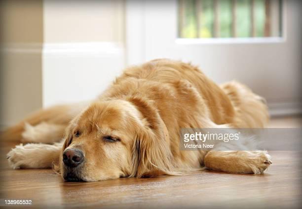 golden retriever sleeping - ゴールデンレトリバー ストックフォトと画像