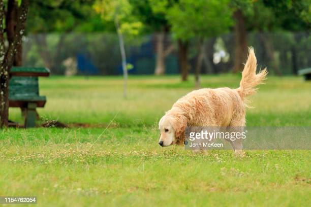 golden retriever sniffing - off leash dog park stock pictures, royalty-free photos & images