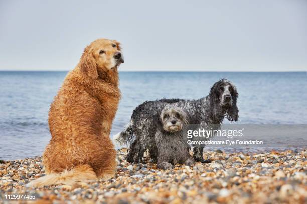 Golden Retriever, Spaniel and Terrier sitting together on beach