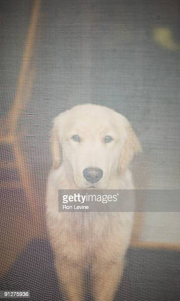 Golden Retriever standing behind screen door