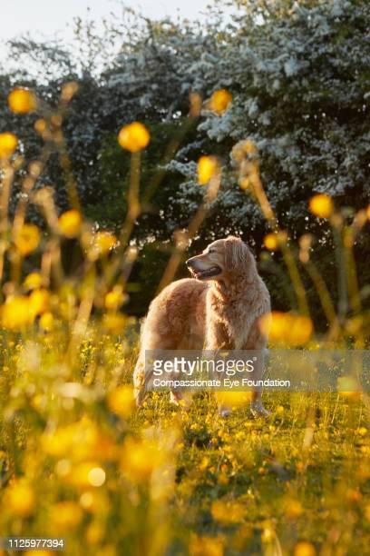 Golden Retriever standing in field of buttercups