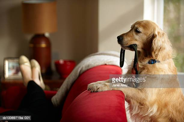 golden retriever standing with leash in mouth looking at woman lying on sofa - golden retriever stock pictures, royalty-free photos & images