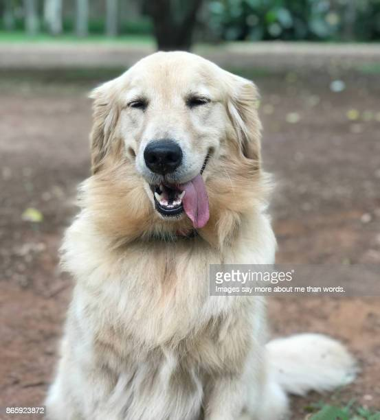golden retriever sticking out tongue. and smiling. - golden retriever stock pictures, royalty-free photos & images