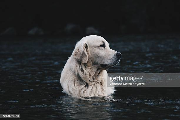 Golden Retriever Swimming In Water At River