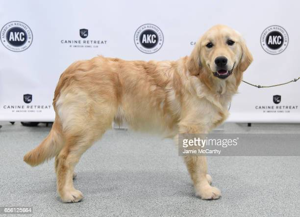 Golden Retriever the 3rd most popular breed of 2016 is shown at The American Kennel Club Reveals The Most Popular Dog Breeds Of 2016 at AKC Canine...