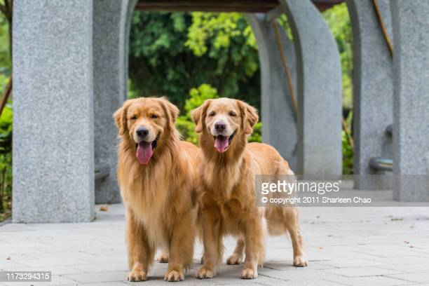 golden retriever twins - golden retriever stock pictures, royalty-free photos & images