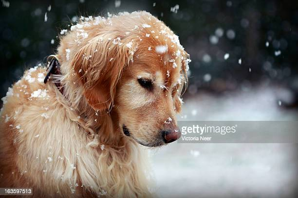 golden retriever watching the snowflakes - golden retriever stock pictures, royalty-free photos & images