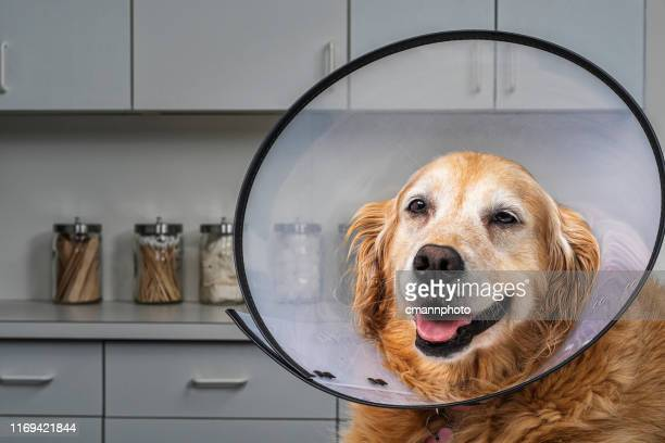 """golden retriever wearing """"cone of shame"""" e-collar in vet's office - protective collar stock pictures, royalty-free photos & images"""