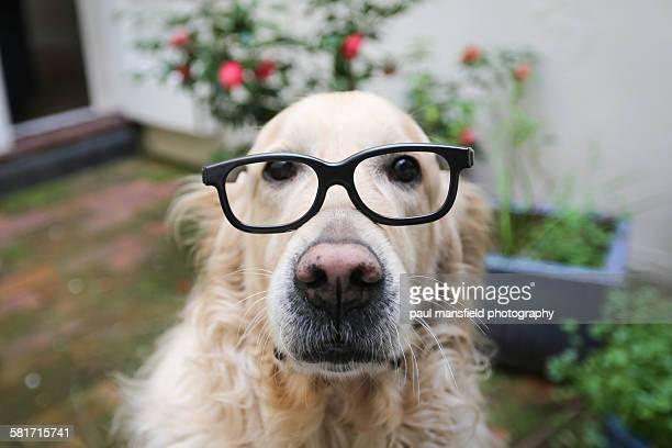 Golden retriever wearing glasses