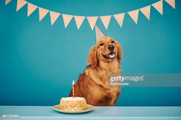 golden retriever wearing party hat, cake with one candle in front of him - happy birthday stock pictures, royalty-free photos & images