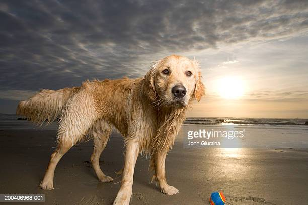 Golden retriever with ball on beach at sunset