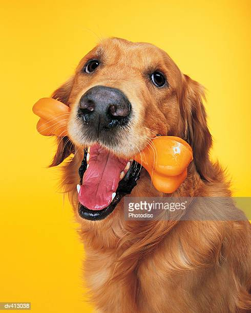 Golden Retriever with bone in mouth