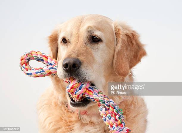 遊び心のあるゴールドレトリバー - イヌのおもちゃ ストックフォトと画像