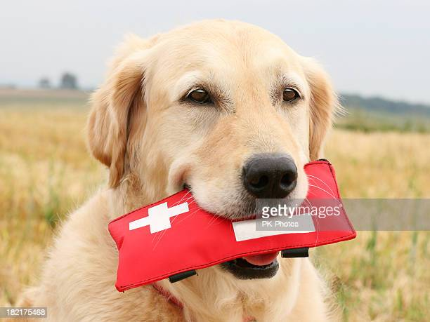 golden retriever with first-aid-kit - first aid kit stock pictures, royalty-free photos & images