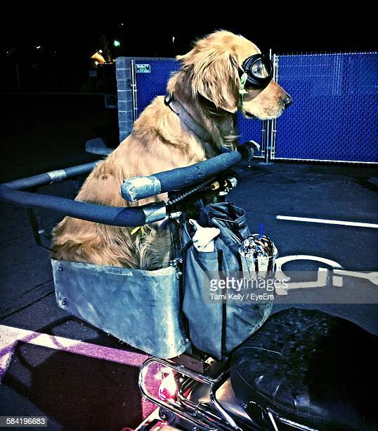 golden retriever with goggles sitting in basket on motorcycle - golden goggles stock pictures, royalty-free photos & images