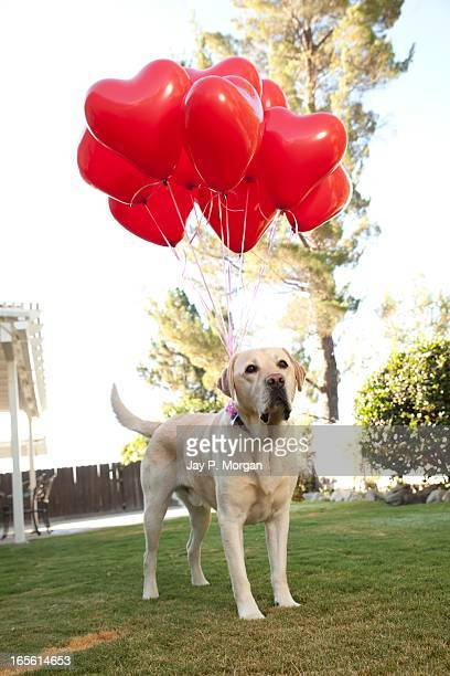 golden retriever with heart balloons - scarlett morgan stock photos and pictures