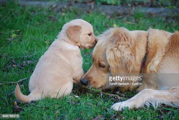 Golden Retriever With Puppy Relaxing On Field