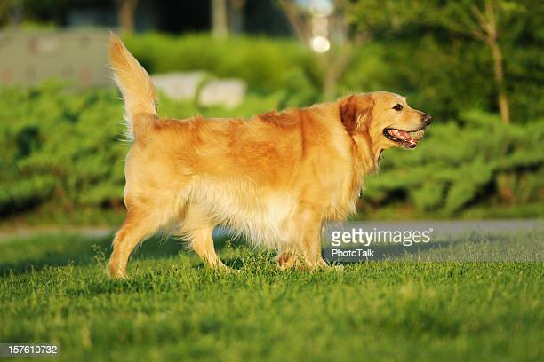Golden Retriever-XL