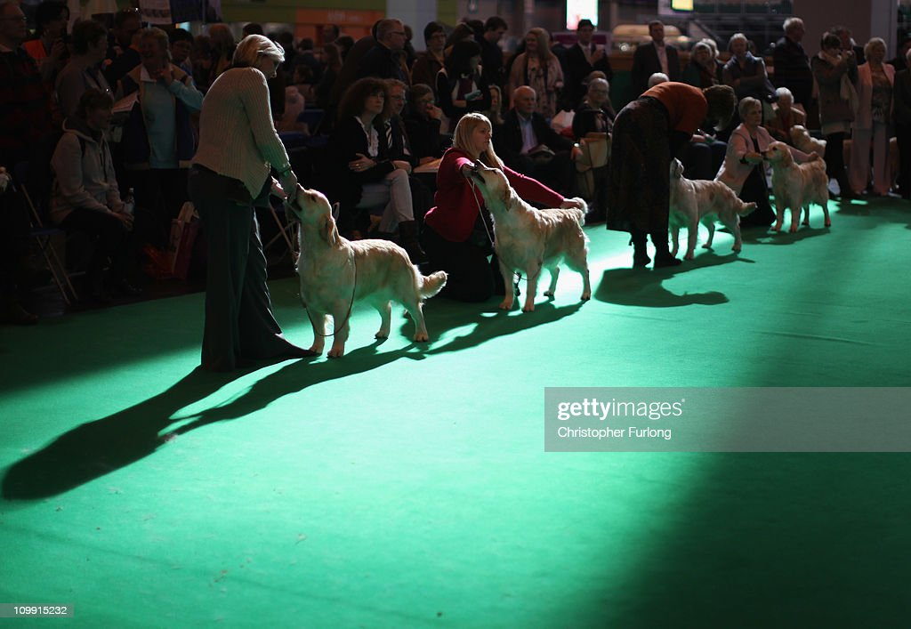 Golden Retrievers stand poised for the scrutiny of judges in the parade ring on the first day of the annual Crufts dog show Gun Dogs section at the National Exhibition Centre on March 10, 2011 in Birmingham, England. During this year's four-day competition nearly 22,000 dogs and their owners will vie for a variety of accolades, ultimately seeking the coveted 'Best In Show'.