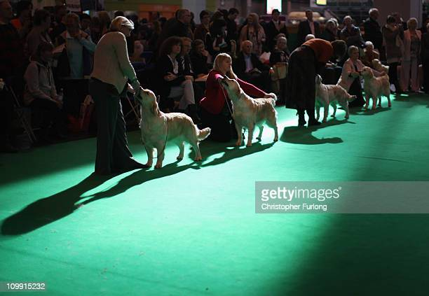Golden Retrievers stand poised for the scrutiny of judges in the parade ring on the first day of the annual Crufts dog show Gun Dogs section at the...