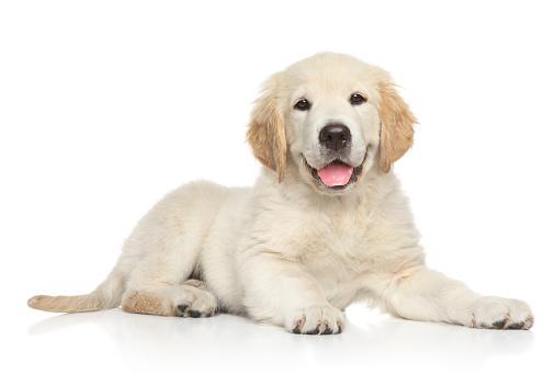 Golden Retriver puppy on white background 961298978