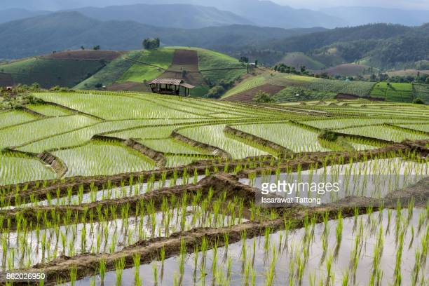 Golden rice fields in the countryside of Thailand