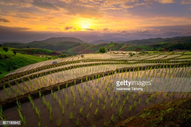 Golden rice fields in the countryside