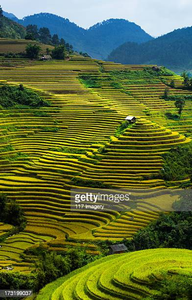Golden rice terrace fields in North Vietnam