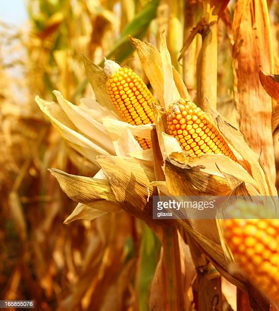 Golden ripe corn,closeup