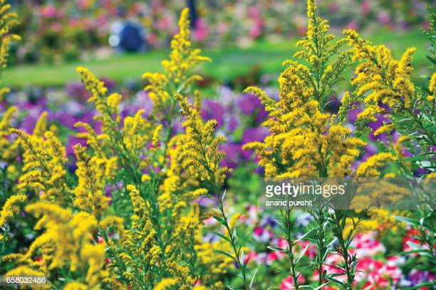 golden rod flower (solidago canadensis) - flower show stock pictures, royalty-free photos & images