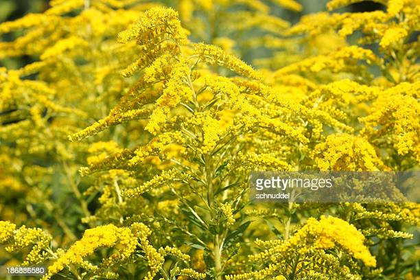 golden rod - goldenrod stock pictures, royalty-free photos & images