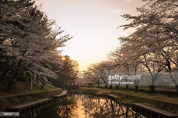 golden sakura sunset - peter lourenco stock pictures, royalty-free photos & images