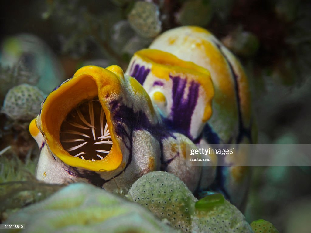 Golden Sea Squirt, Gold-Seescheide (Polycarpa aurata) : Photo