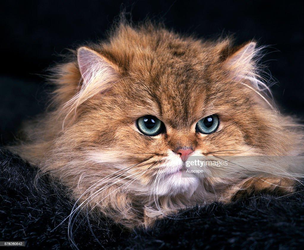 Golden Shaded Persian cat Felis catus