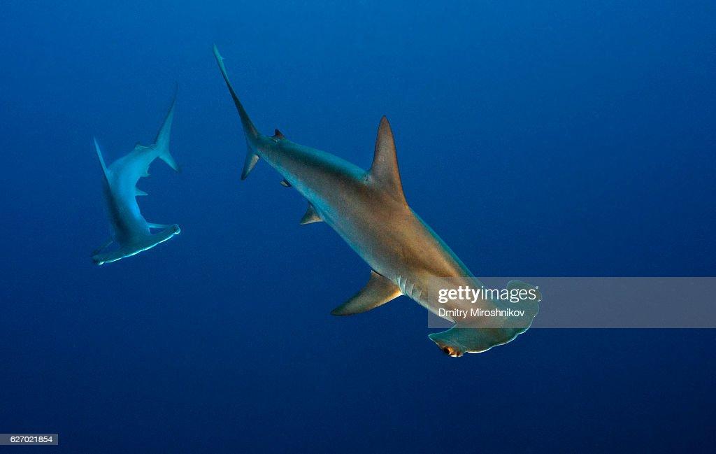 Golden shark : Stock Photo
