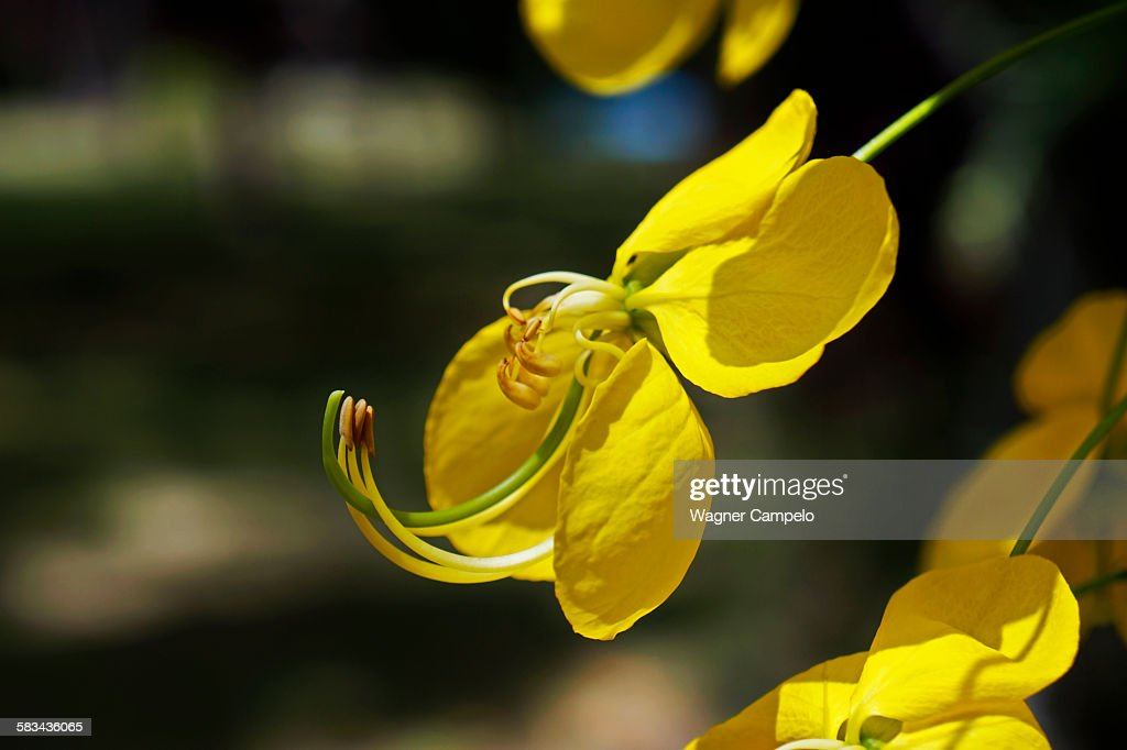 Golden shower tree flower detail : Stock Photo