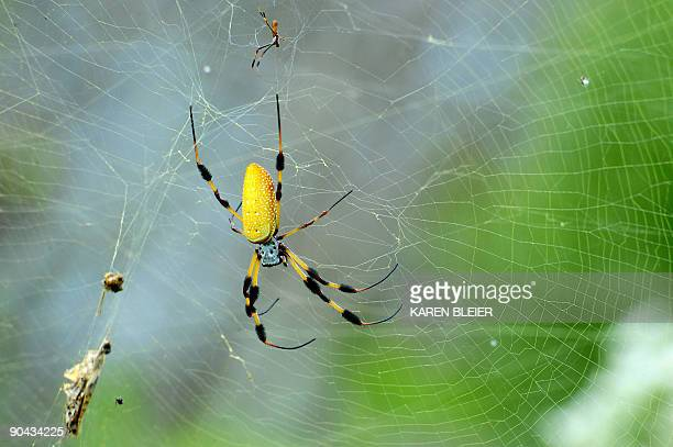 A golden silk spider a type of golden orb spider in its web one of the hundreds of species of wildlife found near the space shuttle Discovery sitting...