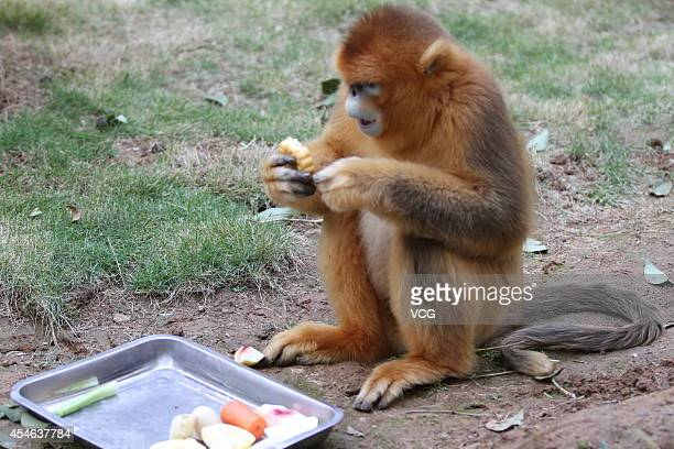 Golden Snubnosed Monkey 'An An' eats a mooncake at Yantai Zoo on September 28 2012 in Yantai China As the MidAutumn Day is approaching staffs at zoos...