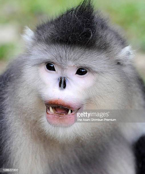 Golden Snub-nosed Monkey is seen at the White Horse Nature Reserve on August 24, 2008 in Yunnan, China.