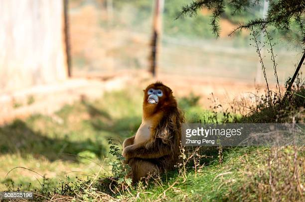 Golden snub-nosed monkey sits in the tree shades. The golden snub-nosed monkey is an Old World monkey in the Colobinae subfamily. It is endemic to a...