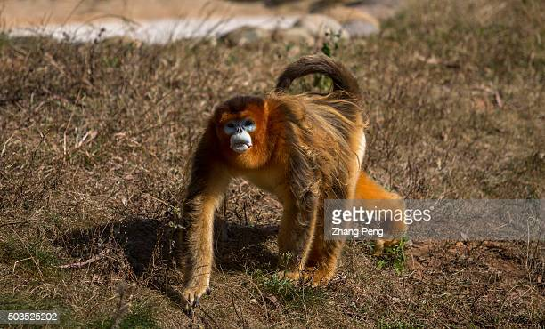 Golden snub-nosed monkey walks on the ground. The golden snub-nosed monkey is an Old World monkey in the Colobinae subfamily. It is endemic to a...