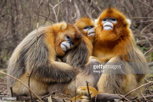 Golden snubnosed monkeys plays at Shennongjia on November 22Hubei province ChinaGolden snubnosed monkeys are distinguished by their bright fur...