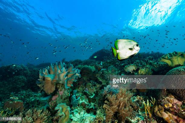 golden spadefish platax boersii over pristine coral reef, raja ampat, indonesia - sea squirt stock pictures, royalty-free photos & images