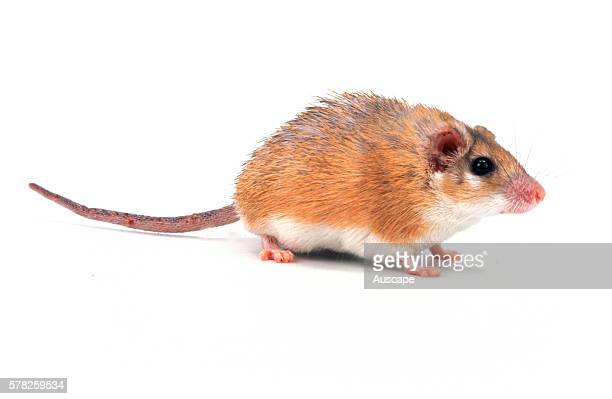 Golden spiny mouse Acomys russatus a popular pet mouse in the Middle East Species in which newborn are cared for by all female members of a colony...