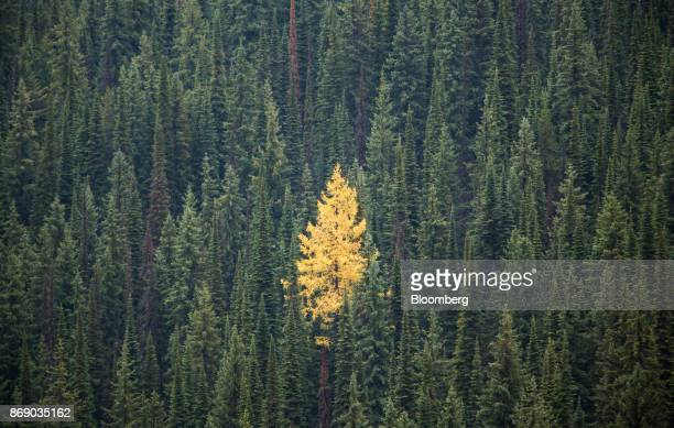 A golden spruce tree stands at the Red Mountain ski resort in Rossland British Columbia Canada on Thursday Oct 19 2017 A tiny Canadian ski resort...