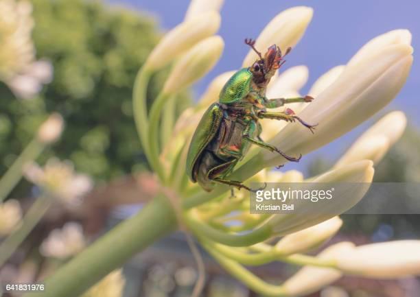 Golden stage beetle (Lamprima sp.) on Agapanthus flower