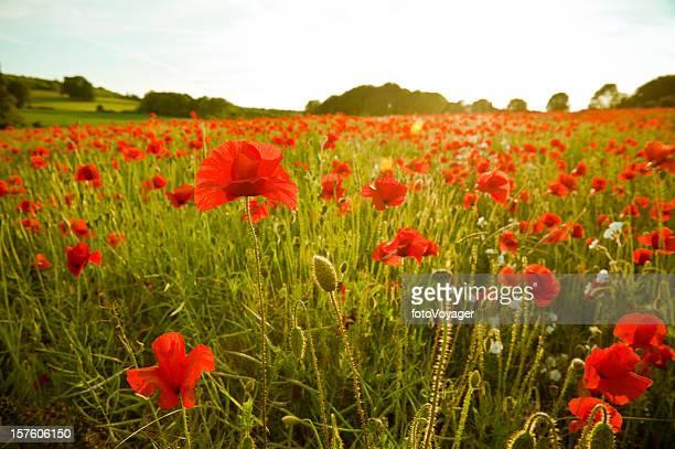 Golden summer sunset vibrant red poppy fields