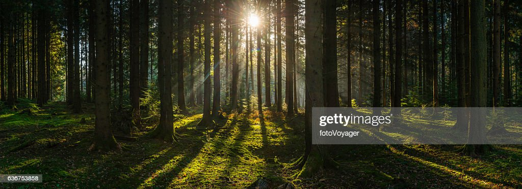 Golden sun beams streaming through idyllic wilderness pine forest panorama : Stock Photo