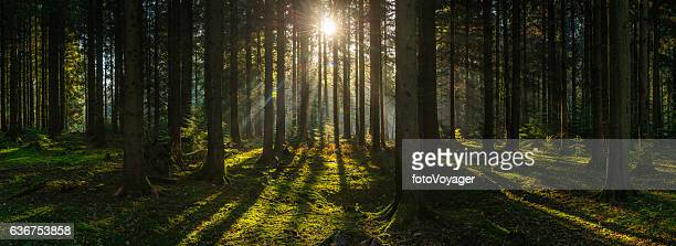 golden sun beams streaming through idyllic wilderness pine forest panorama - forêt photos et images de collection