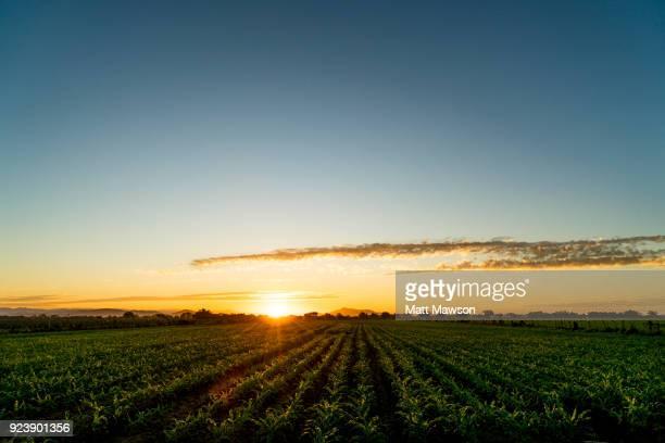 A Golden sun rising over a cornfield in Sinaloa State Mexico